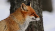 Fox yawns video