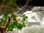 Fragile Dandelion on the River video
