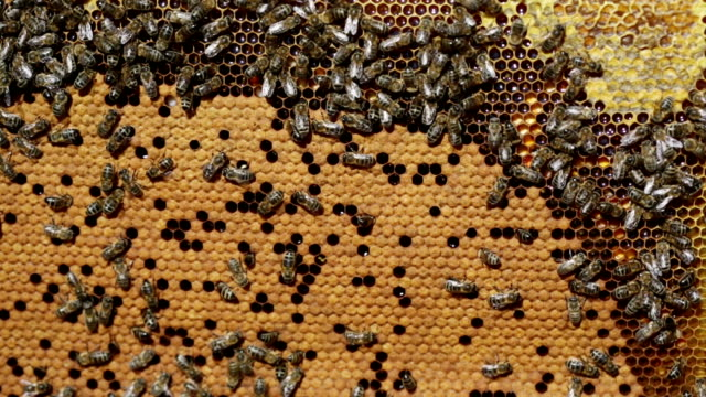 Frame with bee honeycombs filled with honey video