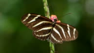 Frame-Filling Macro of a Zebra Longwing Butterfly Collecting Nectar from a Pink Plant, Isolated on a Green Background video