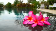 frangipani flower on the pool,concept for relax and spa video
