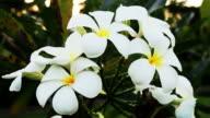 Frangipani flowers. video