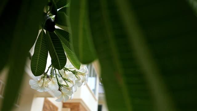 frangipani tropical flower video