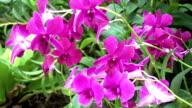 Frangipani Tropical Spa Flower video