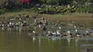 Fraser River, Herons and Seagulls video