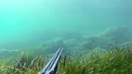 Free diver spearfishing, fish arrives video
