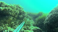 Free diver spearfishing, hunting for corvinas video