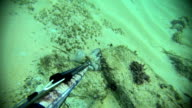 Free diver spearfishing, playing with octopus video