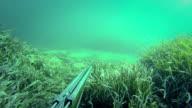 Free diver spearfishing, shooting to goatfish video