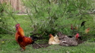 Free range chickens acting under the bush video