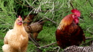 Free range chickens acting under the bush. video