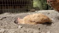 Free Range Chickens Having A Dirt Bath video