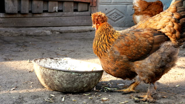 Free range chickens hens pecking corn and food video