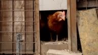 Free Range Hen Leaving Her Henhouse video