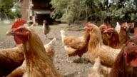 Free Range Hens In The Yard video