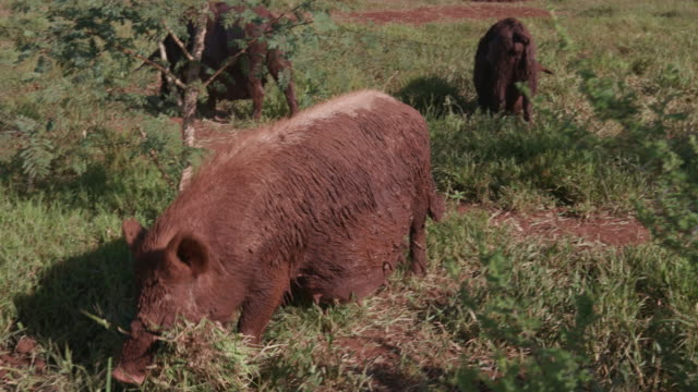 Free range pig building a grass nest to give birth in video