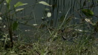 Freeze grass snake, natrix on pond with duckweed video