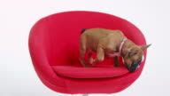 French bulldog puppy standing on a red chair, shot on R3D video
