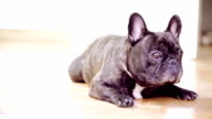French Bulldog video