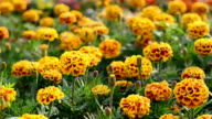 french marigold video