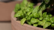 CLOSE UP DOF: Fresh and young green basil spice plant growing in the pot at home video