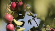 Fresh Apples in Apple Tree video