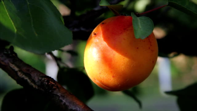 Fresh Apricot on a Tree video