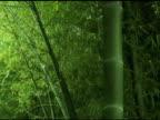 Fresh Asian Bamboo video