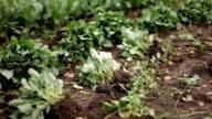 Fresh Cauliflower Field video