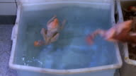 Fresh chickens being thrown in tank video