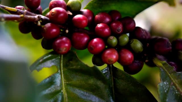fresh coffee cherries video