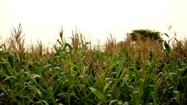 Fresh corn crop video