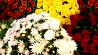 Fresh daisy and peony flowers in flower market video
