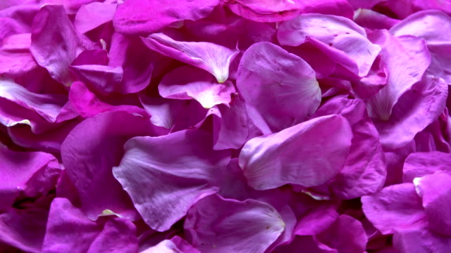 Fresh dogrose wild rose petals falling on rotating background video