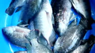 Fresh fish video
