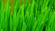 Fresh Green Grass with Raindrops video