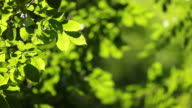 HD: Fresh Green Leaves video