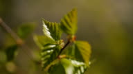 Fresh green little leaves grow on tree branch video