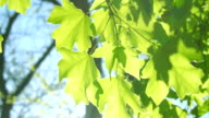 Fresh green maple leaves over blurred foliage in springtime. video