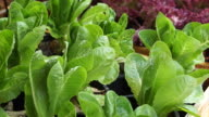 Fresh green organic salad vegetable farm watering video