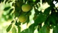 Fresh green plum fruit hanging on tree Agriculture Farm Growth video