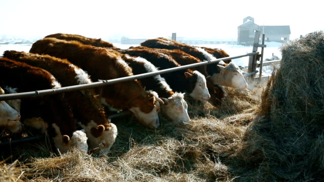Fresh hay for cows in winter video