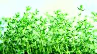 fresh herbs, thyme video