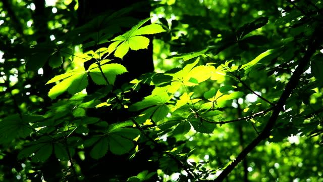 Fresh leaves from chestnut tree video