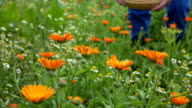 fresh marigold flower and blurred hand pick blossom in plate. video