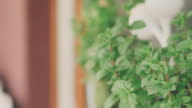 Fresh Mint in garden video
