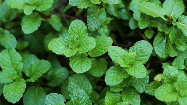 Fresh Mint Vegetable and Herbal in Thailand video