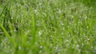 Fresh Morning Dew On Grass video