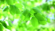 fresh new green leaves glowing in forest video