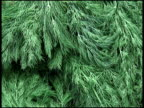 Fresh Organic Dill video